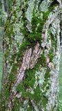 Zielony mech na textured drzewnej barkentyny tle zdjęcia royalty free