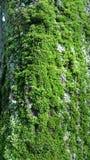 Zielony mech na textured drzewnej barkentyny tle obrazy stock