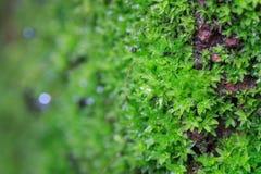 zielony mech r na starej skale Zdjęcie Stock