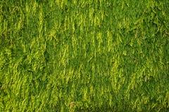 Zielony mech tło, mechata tekstura Zdjęcia Stock