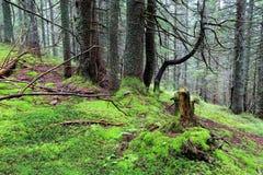 Zielony mech w głębokim lesie Fotografia Royalty Free