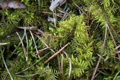 Zielony mech z sosnowymi igłami w górę tekstury tła zdjęcia royalty free