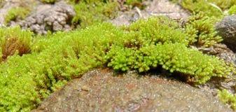 Zielony mech zbierający na kamieniu lub skała lub moczymy ziemię obraz stock