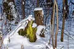 Zielony mechaty drzewny fiszorek zakrywający z śniegiem Obraz Stock
