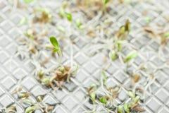 Zielony mikro Zielenieje dorośnięcie w zbiorniku, makro- kosmos kopii fotografia royalty free