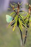 Zielony modraszek Zdjęcia Stock