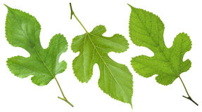 Zielony morwowy liść Zdjęcia Royalty Free