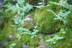 Zielony mos obok ściennego zakończenia up, Nakornsritammarat prowincja A Obrazy Royalty Free