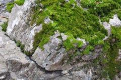 Zielony mos tło, Zielony mos na kamieniu Obrazy Royalty Free