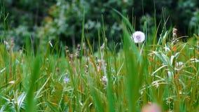 Zielony mosiądza i dandelions sunbath zbiory