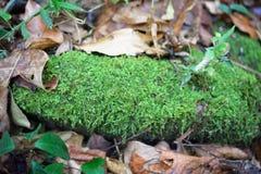 zielony moss Zdjęcia Stock