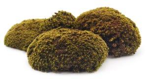 zielony moss Zdjęcie Stock