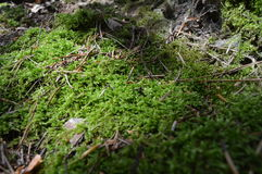 zielony moss Obrazy Royalty Free