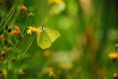 Zielony motyl Fotografia Stock