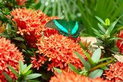Zielony motyl na kwiatach Zdjęcia Royalty Free