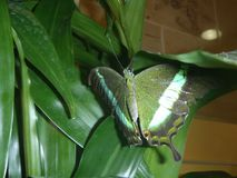 Zielony motyl na Zielonej roślinie Obraz Royalty Free