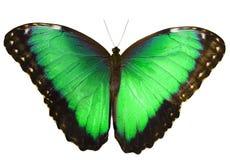 Zielony motyl odizolowywający na białym tle z rozciągniętymi skrzydłami Zdjęcie Stock