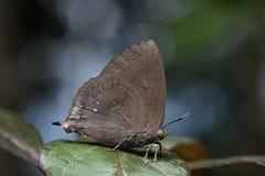 zielony motyla liść Zdjęcie Stock