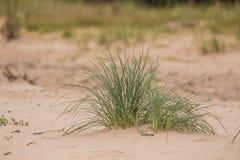 Zielony nadmorski trawy dorośnięcie w piasku Piękne plażowe flory w wiatrze Obraz Stock