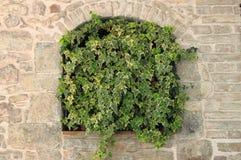 zielony narastający bluszcz zdjęcie stock