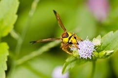 zielony natury osy kolor żółty Fotografia Stock