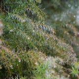 Zielony natury tło z iglastymi gałąź zakrywać z de Zdjęcia Royalty Free