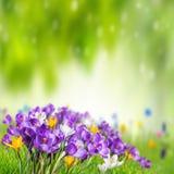 Zielony natury tło z krokusem Zdjęcie Stock