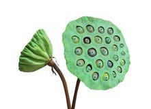 Zielony Nelumbo Zdjęcie Stock