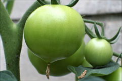 Zielony niedojrzały pomidor obrazy stock