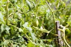 Zielony niedojrzały pomidor Obraz Royalty Free