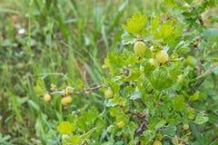 Zielony niewyrobienie agrest na roślinie w ogródzie Obraz Royalty Free