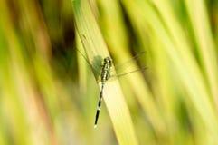 Zielony nikły cedzakowy miękki tło fotografia royalty free