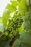 Zielony nowy winogrono na drzewie zdjęcia royalty free