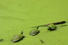 zielony objętych trochę trzy żółwia Obraz Stock