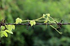 Zielony odgórny drewno pełzacza drzewo, skrada się na ośniedziałym drucie kolczastym zdjęcie royalty free