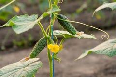 Zielony ogórek i kwiat na gałąź Obraz Royalty Free
