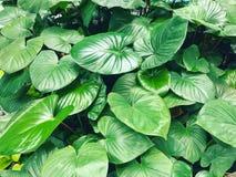 Zielony ogrodowej rośliny liść od odgórnego widoku Obraz Stock