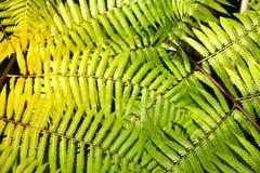 Zielony ogrodowy tło Fishbone paproć lub kordzik paproć Obraz Stock