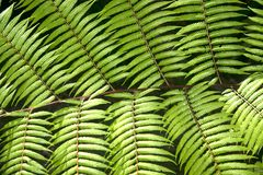 Zielony ogrodowy tło Fishbone paproć lub kordzik paproć Fotografia Stock