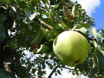 Zielony organicznie jab?czany rodzaj Moskwa Jab?o? w letnim dniu zdjęcie stock
