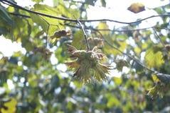 zielony orzecha laskowego Fotografia Stock