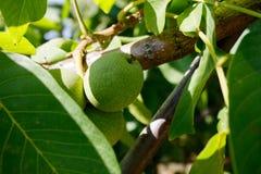 Zielony orzecha włoskiego dorośnięcie na drzewnym zakończeniu up zdjęcie stock
