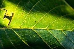 Zielony orzecha włoskiego liść z czarnymi punktami zamyka w górę makro- zdjęcia stock