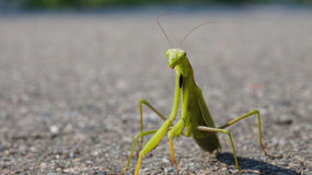 zielony owad Zdjęcie Stock