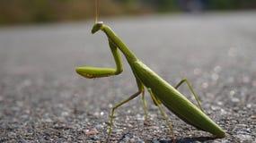 zielony owad Zdjęcia Royalty Free