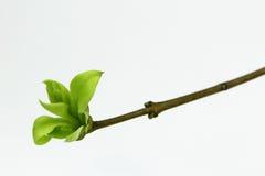Zielony pączek lila roślina Fotografia Royalty Free