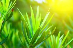 Zielony pączek Zdjęcia Stock