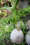 Zielony pączek palma Obraz Royalty Free