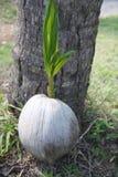 Zielony pączek palma Obrazy Stock