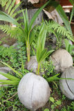 Zielony pączek palma Fotografia Royalty Free